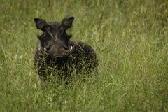 Ciérrese para arriba de la cara del cerdo de la verruga en el salvaje Fotografía de archivo