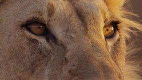 Ciérrese para arriba de la cara del león femenino en el bushveld africano, desierto de Namib, Namibia fotografía de archivo