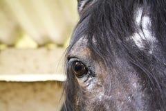 Ciérrese para arriba de la cara de un caballo marrón joven fotografía de archivo