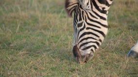 Ciérrese para arriba de la cebra de los llanos del africano que pasta almacen de metraje de vídeo