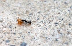 Ciérrese para arriba de la comida que lleva de la hormiga Fotografía de archivo libre de regalías