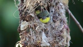 Ciérrese para arriba de la familia Aceituna-apoyada de Sunbird; pájaro de bebé en una jerarquía del pájaro que cuelga en la comid metrajes