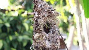 Ciérrese para arriba de la familia Aceituna-apoyada de Sunbird; pájaro de bebé en una jerarquía del pájaro que cuelga en la comid almacen de video