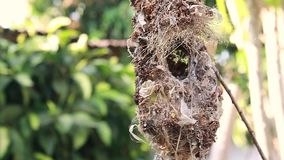 Ciérrese para arriba de la familia Aceituna-apoyada de Sunbird; pájaro de bebé en una jerarquía del pájaro que cuelga en la comid almacen de metraje de vídeo