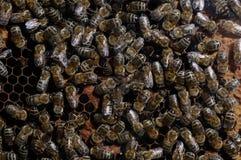 Ciérrese para arriba de la familia de la abeja foto de archivo libre de regalías