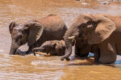 Ciérrese para arriba de la familia del elefante en el agua en Suráfrica Fotografía de archivo