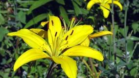 Ciérrese para arriba de la flor amarilla del lirio Foto de archivo