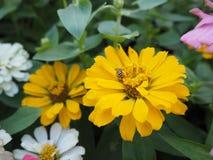 Ciérrese para arriba de la flor amarilla del Zinnia flor del Zinnia blanco en el GA Fotografía de archivo