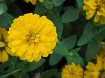 Ciérrese para arriba de la flor amarilla del Zinnia flor del Zinnia blanco en el lepisosteus Fotografía de archivo libre de regalías
