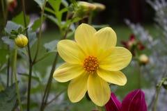 Ciérrese para arriba de la flor amarilla hermosa de la dalia en backgroun natural Imágenes de archivo libres de regalías