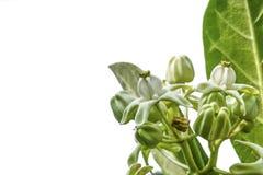Ciérrese para arriba de la flor blanca de la corona aislada en el fondo blanco Foto de archivo