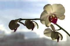 Ciérrese para arriba de la flor blanca de la orquídea Foto de archivo