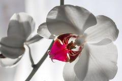 Ciérrese para arriba de la flor blanca de la orquídea Imagen de archivo