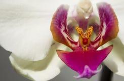 Ciérrese para arriba de la flor blanca de la orquídea Fotografía de archivo