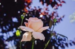 Ciérrese para arriba de la flor color de rosa Imágenes de archivo libres de regalías