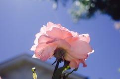 Ciérrese para arriba de la flor color de rosa Foto de archivo libre de regalías
