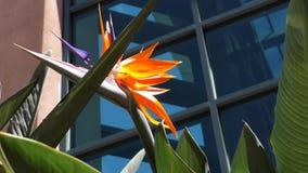 Ciérrese para arriba de la flor de la ave del paraíso almacen de metraje de vídeo
