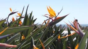 Ciérrese para arriba de la flor de la ave del paraíso metrajes
