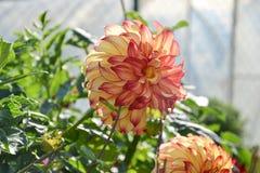 Ciérrese para arriba de la flor de la dalia en jardín el tiempo de primavera Fotos de archivo libres de regalías