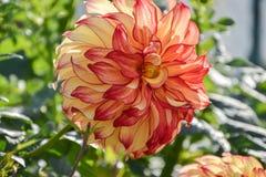 Ciérrese para arriba de la flor de la dalia en jardín el tiempo de primavera Imagen de archivo