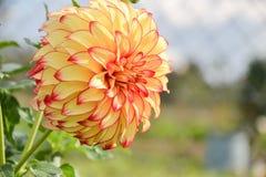 Ciérrese para arriba de la flor de la dalia en jardín el tiempo de primavera Foto de archivo
