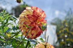 Ciérrese para arriba de la flor de la dalia en jardín el tiempo de primavera Imagen de archivo libre de regalías