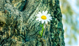 Ciérrese para arriba de la flor de la margarita Foto de archivo