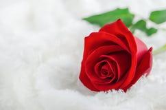 Ciérrese para arriba de la flor de la rosa del rojo en el fondo blanco de la piel Fotografía de archivo