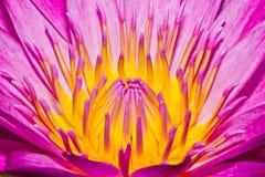 Ciérrese para arriba de la flor de loto Foto de archivo