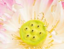 Ciérrese para arriba de la flor de loto abierta Fotografía de archivo libre de regalías