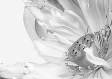 Ciérrese para arriba de la flor de loto abierta Imagenes de archivo