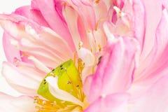 Ciérrese para arriba de la flor de loto abierta Fotos de archivo