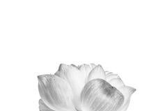 Ciérrese para arriba de la flor de loto abierta Foto de archivo libre de regalías