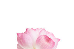 Ciérrese para arriba de la flor de loto abierta Foto de archivo
