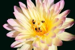Ciérrese para arriba de la flor de loto con la abeja Imagenes de archivo