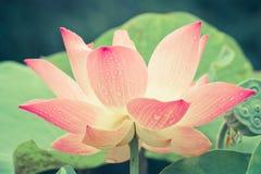 Ciérrese para arriba de la flor de loto rosada Imagen de archivo libre de regalías