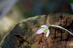 Ciérrese para arriba de la flor del descenso de la nieve Fotos de archivo