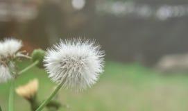 Ciérrese para arriba de la flor del diente de león foto de archivo