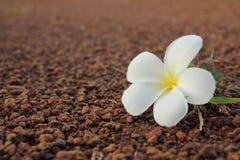 Ciérrese para arriba de la flor del Frangipani Imágenes de archivo libres de regalías