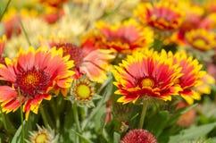Ciérrese para arriba de la flor del gazania o de la margarita africana imagen de archivo
