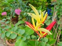 Ciérrese para arriba de la flor del periquito o del psittacorum de Heliconia en rama borrosa y deja el fondo fotos de archivo
