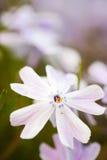 Ciérrese para arriba de la flor del polemonio Fotos de archivo