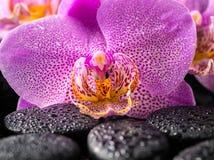 Ciérrese para arriba de la flor floreciente hermosa de la orquídea de la lila de la ramita Fotografía de archivo libre de regalías