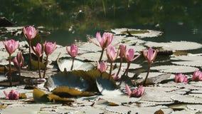 Ciérrese para arriba de la flor de loto rosada