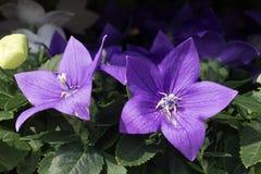 Ciérrese para arriba de la flor púrpura del hibisco con muchos brotes y con las hojas verdes en el fondo en el jardín foto de archivo