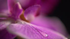 Ciérrese para arriba de la flor púrpura de la orquídea con descensos del agua metrajes