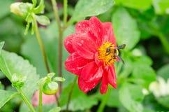 Ciérrese para arriba de la flor roja de la dalia con la abeja y del fondo de las hojas del verde en el jardín Imágenes de archivo libres de regalías