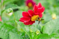 Ciérrese para arriba de la flor roja de la dalia con la abeja y del fondo de las hojas del verde en el jardín Foto de archivo libre de regalías