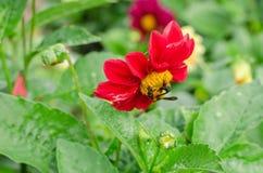Ciérrese para arriba de la flor roja de la dalia con la abeja y del fondo de las hojas del verde en el jardín Fotos de archivo