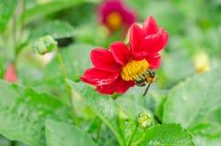 Ciérrese para arriba de la flor roja de la dalia con la abeja y del fondo de las hojas del verde en el jardín Imagen de archivo libre de regalías
